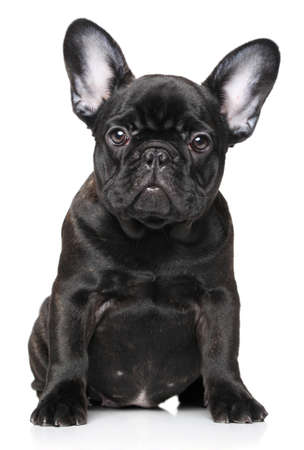 白い背景にフレンチ ブルドッグの子犬 写真素材