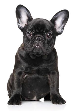 french bulldog puppy: French Bulldog puppy on a white background