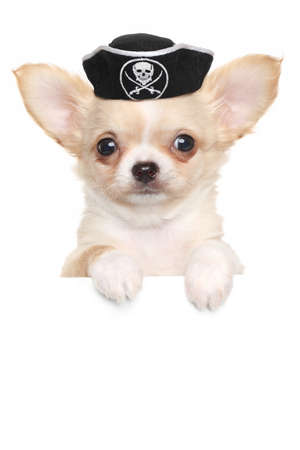 Chihuahua puppy in carnival pirate hat above white banner isolated on white background photo