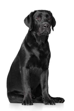 labrador retriever: Black Labrador Retriever on white background