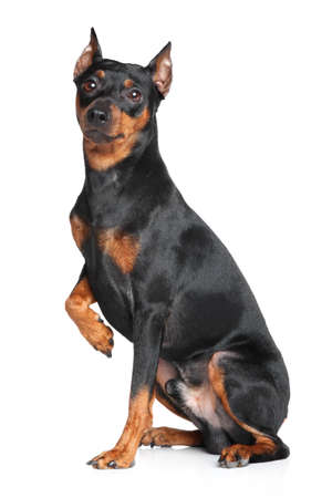 studioshot: German Pinscher waiting. Portrait on white background
