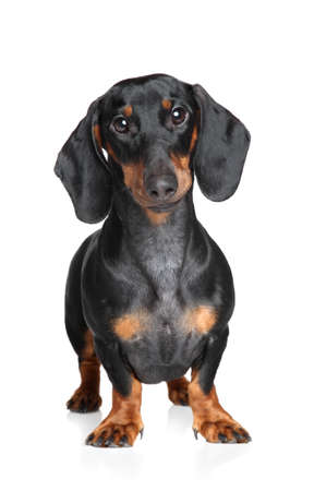 Miniature dachshund. Portrait on a white background