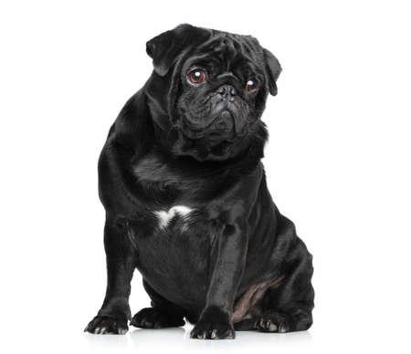 black pug: Black Pug posing on white background