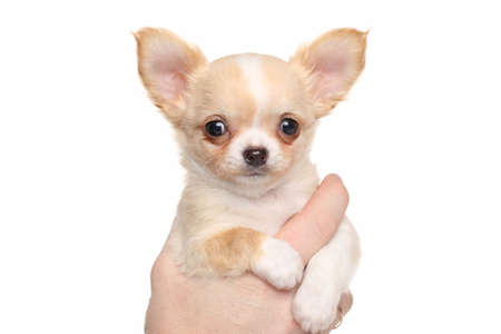 chiwawa: Chihuahua puppy in hand on white background