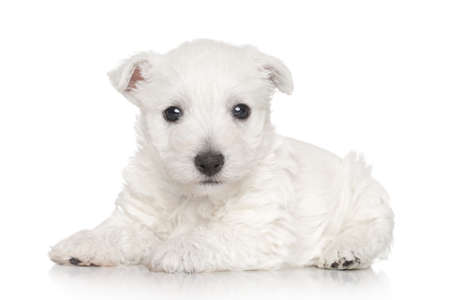 cute westie: West highland terrier. Portrait on white background Stock Photo