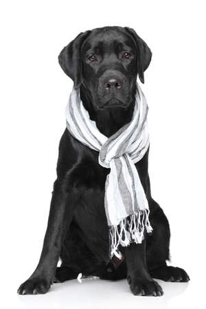 Labrador retriever with a warm scarf on the neck Stok Fotoğraf