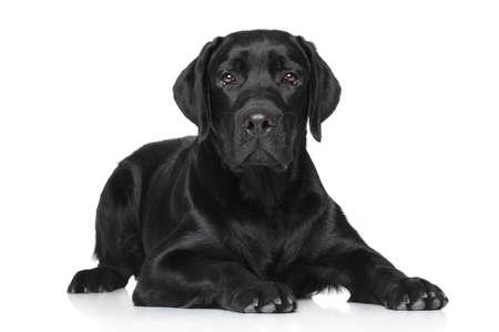 black labrador: Black Labrador lying on white background