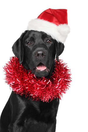 black red: Black Labrador retriever in Santa Christmas red hat. Portrait on isolated white background
