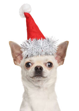 chiwawa: Chihuahua puppy in Christmas red hat isolated on white background