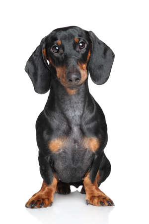 Dachshund Portrait on a white background Stock Photo