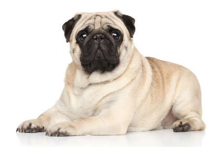 pug dog: Pug dog lying on white background