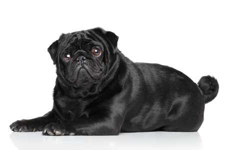 black pug: Black Pug lying in front of white background Stock Photo
