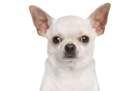 chiwawa: Chihuahua on white background