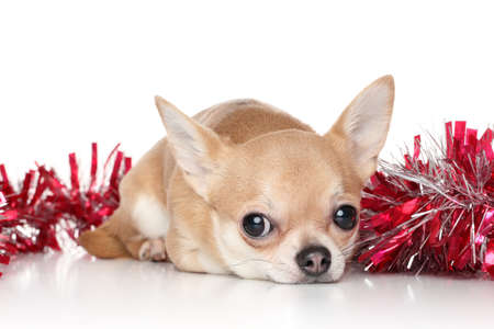chiwawa: Chihuahua dog lying in red garlands on a white background Stock Photo