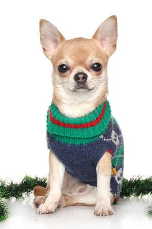ropa de invierno: Chihuahua en ropa de invierno cerca de guirnalda verde sobre fondo blanco