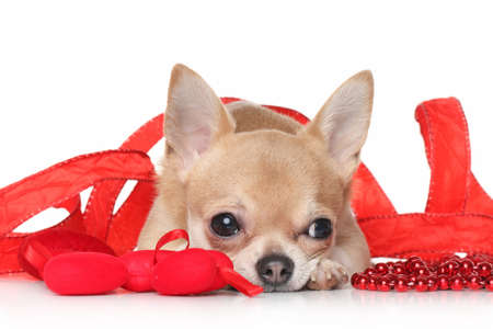 chiwawa: Chihuahua lying in a red ribbon on white background Stock Photo