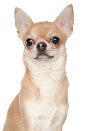 chiwawa: Chihuahua dog. Close-up portrait isolated on a white background