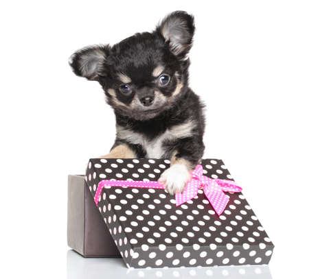 Chihuahua puppy sitting in gift box on white background photo