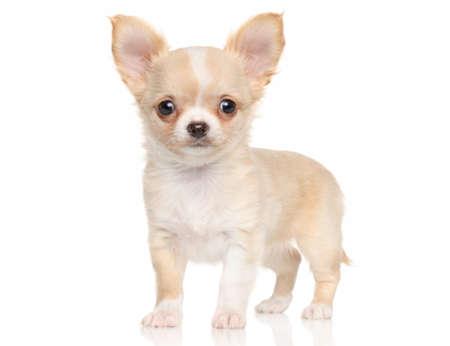 cane chihuahua: Chihuahua cucciolo in piedi davanti a sfondo bianco Archivio Fotografico