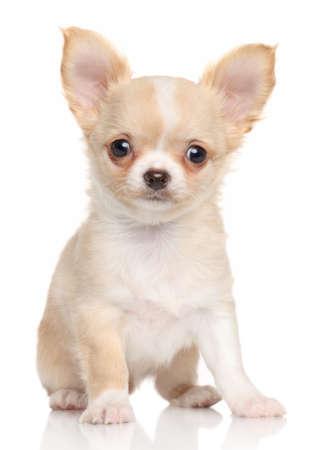 白い背景の上のチワワ子犬