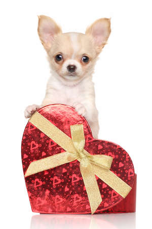 chiwawa: Chihuahua puppy with a gift in front of white background