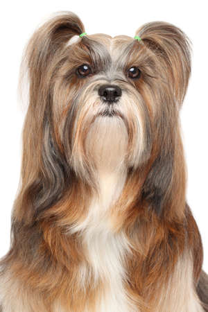 lapdog: Lhasa Apso. Close-up portrait on isolated a white background