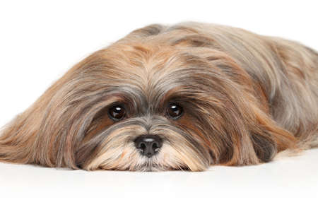 lapdog: Lhasa Apso resting on a white background