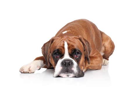 boxer dog: Triste perro Boxer acuesta en el fondo blanco Foto de archivo