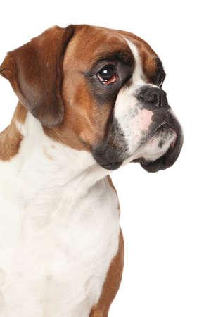 boxer dog: Perro del boxeador. Retrato en el fondo blanco aislado