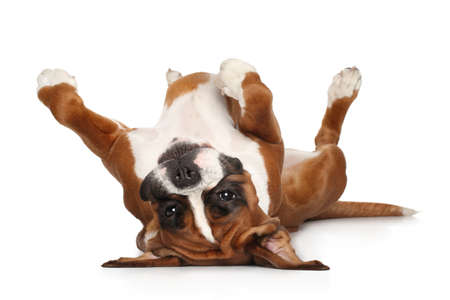 Boxer dog lying on his back resting his paws up Banque d'images