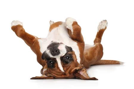 boxeador: Boxer perro acostado sobre su espalda descansando sus patas arriba