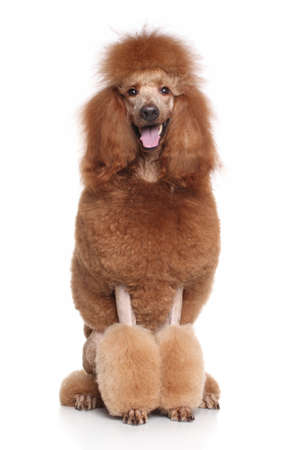 Red Standard Poodle sits on white background