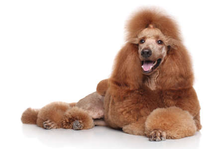 Standard Red Poodle dog lying on white background Stock Photo