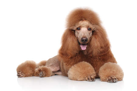 standard: Red Poodle lying in front of white background