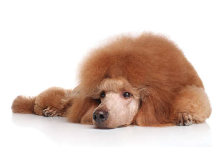 standard poodle: Red Standard Poodle lying on white background Stock Photo