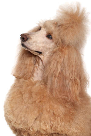standard poodle: Apricot Standard Poodle portrait on isolated white background