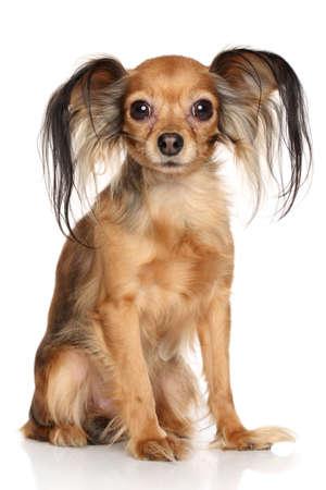 toy terrier: Russo capelli lunghi Toy Terrier di fronte a sfondo bianco