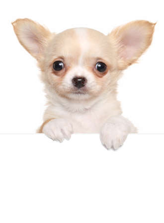 chiwawa: Chihuahua puppy above white banner. isolated