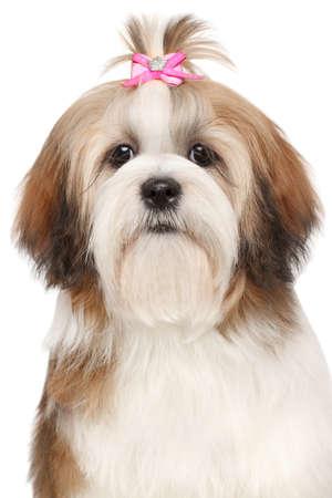 Lhasa Apso dog. Close-up portrait on isolated white background photo