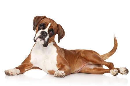 boxer: Perro del boxeador que se extiende sobre fondo blanco