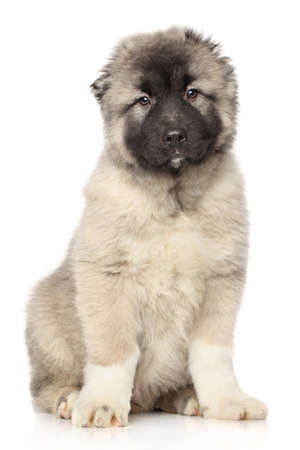 alabai: Central Asian Shepherd puppy 4 month posing in front of white background