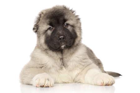 alabai: Central Asian Shepherd puppy lying on white background Stock Photo