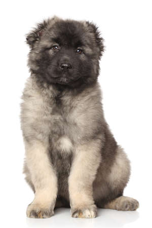 alabai: Central Asian Shepherd puppy sits on white background