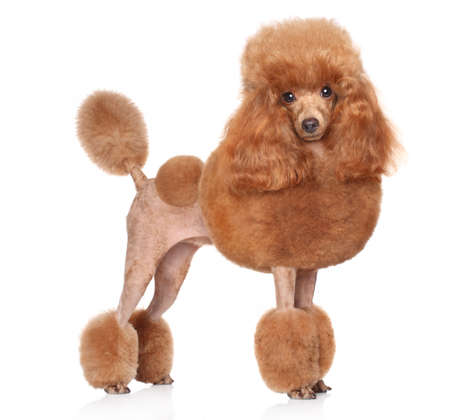 Red Toy Poodle standing in front of white background Stock Photo