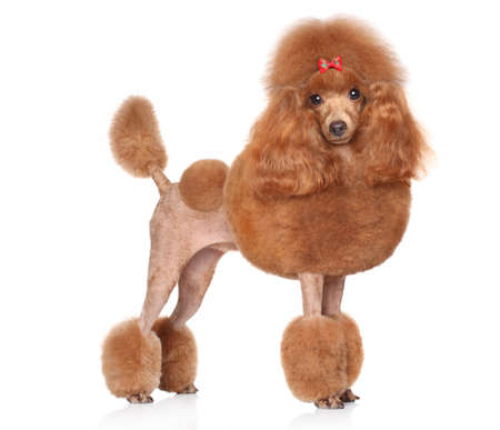 Toy Poodle with red bow posing on a white background Stockfoto