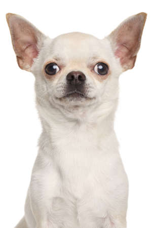 eared: Chihuahua. Portrait isolated on white background Stock Photo