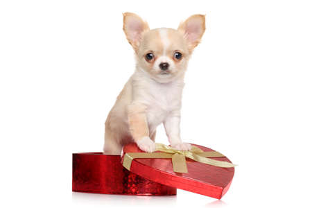 chihuahua puppy: Chihuahua puppy sits in red heart gift box on white background