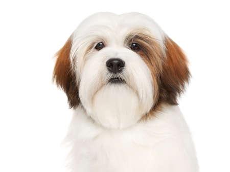 Lhasa Apso dog. Close-up portrait on a white background photo