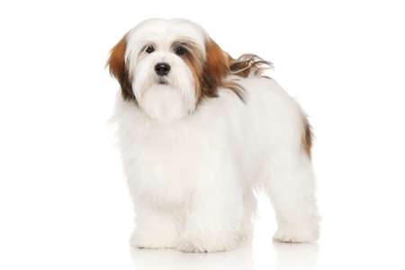 long haired: Lhasa Apso dog. Portrait in front of white background