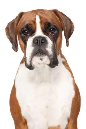 boxer dog: Perro del boxeador. Close-up retrato aislado en fondo blanco